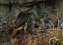 Red_Tailed_Hawks