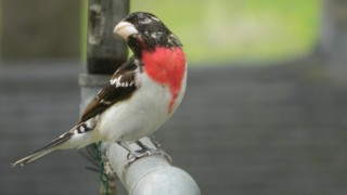 Rose-breasted Grosbeak by Tara Patenaude.