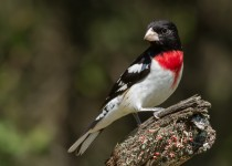 Rose-breasted-grosbeak-1