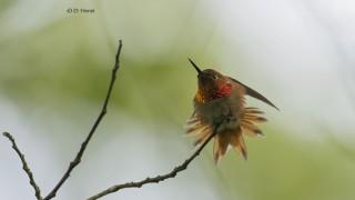 Rufous-Hummingbird-1