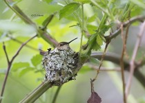 Rufous-on-her-nest
