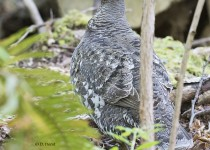 Sooty-Grouse-female-1