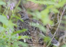 Sooty-Grouse-female