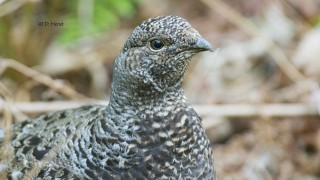 Sooty-Grouse-portrait