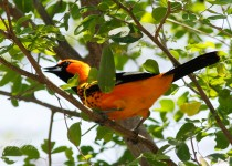 Spot-breasted-Oriole