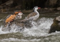 Torrent-Duck-Family_CMG6932-2_1200