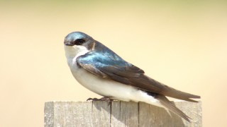 Tree-Swallow-BWD