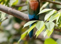 Turquoise-browed-Motmot1