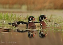 Wood_Ducks