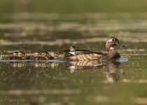 Wood_Ducks1