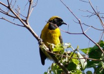Yellow-backed-Oriole