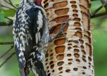 Yellow-bellied-Sapsucker_M_CMG1175_1200
