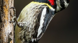Yellow-bellied-sapsucker-1