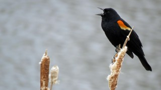 male-Redwinged-blackbird