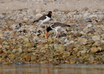 oystercatchers-feeding-time-2