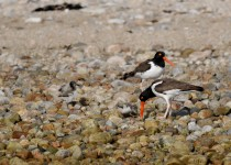 oystercatchers-feeding-time-3