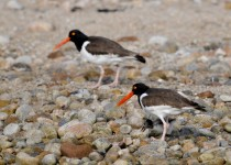 oystercatchers-feeding-time-5