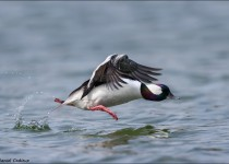 tn_Bufflehead_1423-1
