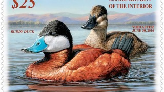 2015-16 Federal Duck Stamp featuring Ruddy Ducks by Jennifer Miller, Olean, N.Y. Courtesy U.S. Fish and Wildlife Service.