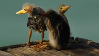 3-Black-Crowned-Night-Herons-Fledglings