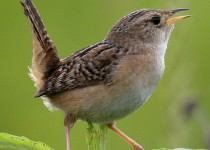 9E6A7670-Sedge-Wren-Rollins-Savanna-DPP2-HP