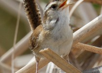 9E6A7734-Marsh-Wren-Rollins-Savanna-DPP-1-HP