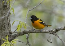 Baltimore-Oriole-4