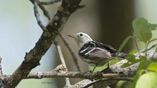 Black-White-Warbler-4