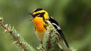 Blackburnian Warbler near Tamarack, Minnesota. Photo by gman79