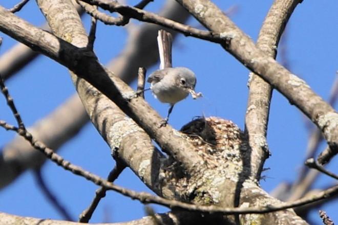 Blue-gray Gnatcatcher by Linda Wegs.