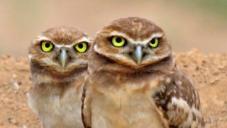 Burrowing Owls_320x200