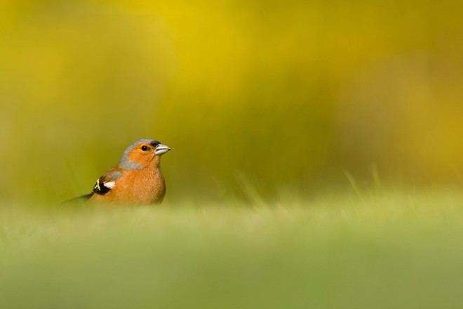 Common Chaffinch is one of the more than 150 species trapped illegally in the eastern Mediterranean. Photo by Ben Hall, courtesy of the RSPB