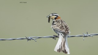 Chestnut-collared-Longspur-2