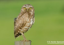 DSC0247-Burrowing-Owl