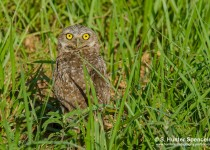 DSC0257-Burrowing-Owl