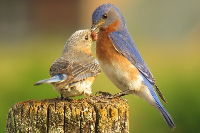 Eastern Bluebirds by Lonna Ours.