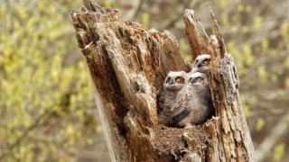 Great Horned Owls in Cuyahoga Valley National Park, Ohio, by Joshua Clark.