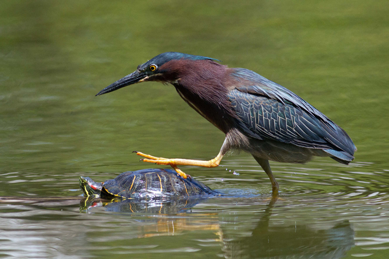 Photo Of The Week Green Heron Birdwatching