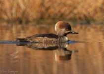 Hooded_Merganser_Hen2