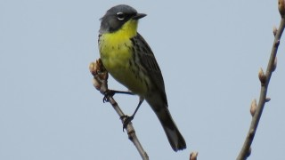 Kirtland's Warbler, Adams County, Wisconsin, May 16, 2015, by Sandi Morey.