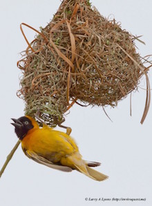 Lesser Masked Weaver in South Africa, October 2012, by Larry Lyons.