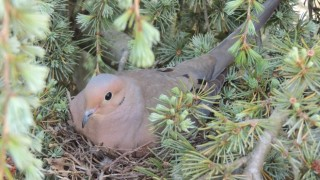 Mourning Dove on nest in cedar tree by marian mcsherry.