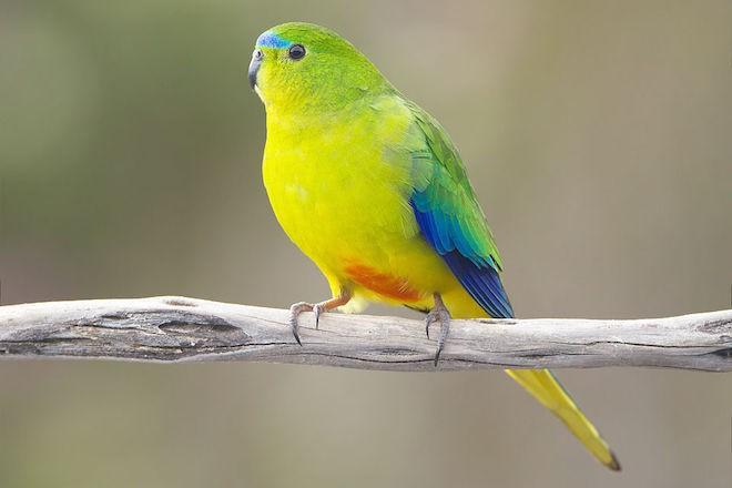 Orange-bellied Parrot, male, Melaleuca, Southwest Conservation Area, Tasmania, Australia, by JJ Harrison (Wikimedia Commons).