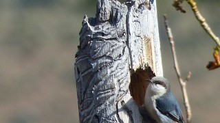 PigmyNuthatch2NV