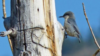 PigmyNuthatch3NV