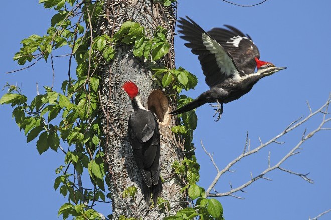 Pileated Woodpeckers by Lew Scharpf.