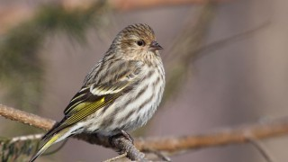 Pine Siskin at Cap Tourmente National Wildlife Area, Quebec, by Cephas. Creative Commons BY-SA 3.0 via Wikimedia Commons