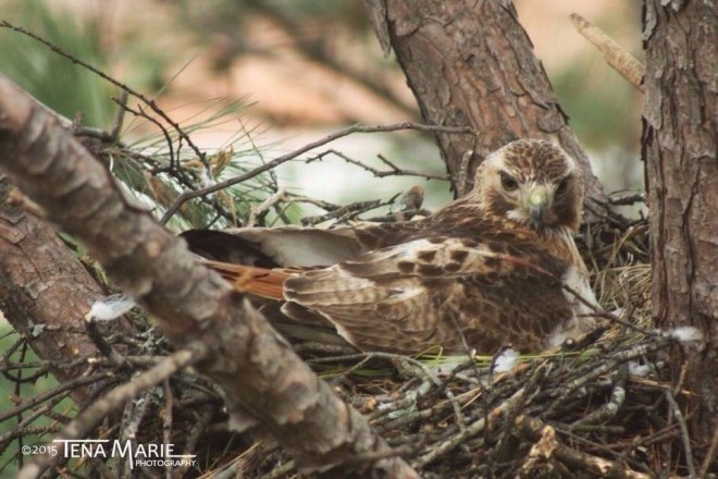 Red-tailed Hawk by Tena Southern.