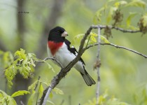 Rose-breasted-Grosbeak-2