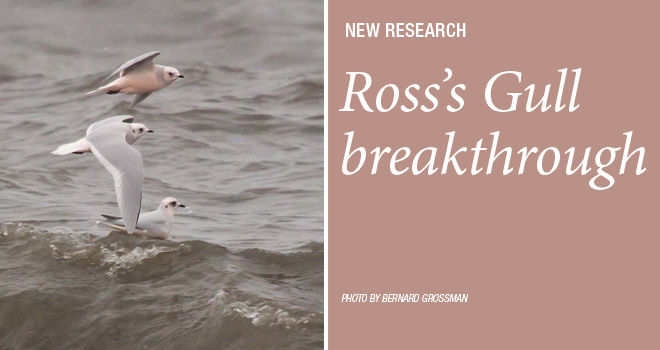 Ross'sGull-rotator